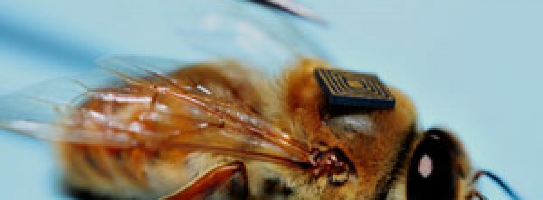 Colocan microsensores en colmenas de abejas para garantizar provisión de alimentos